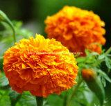 HPLC della zeassantina 5%~80% dell'estratto del fiore del tagete