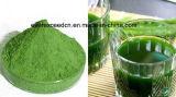 Buona polvere dell'erba di orzo di solubilità nell'acqua