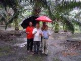 Miglioria fondiaria di Unigrow trattata sul virus di Ganoderma Lucidum dell'olio di palma e sulla malattia Filarial