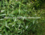Extrato de Andrographolide 98% Andrographis Paniculata, bom para a contracepção