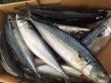 De bevroren Vreedzame Vissen Gehele Japonicus Scomber van Saba van de Makreel van Saba van de Makreel