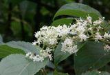 고품질 Tripterygium Wilfordii 추출