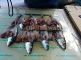 Rede de arrasto a captura de sardinha (100-150g)