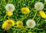 Natural extracto de polvo de diente de león de alta calidad con Flavones 5% UV