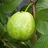 Natuurlijke Nevel - het droge Poeder van het Vruchtesap van de Guave
