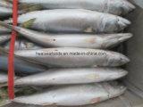 Caballa congelados de pescado para cebo de atún