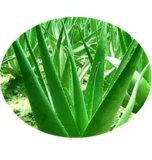 نبات [فرا] مقتطف [ألو-مودين] مسحوق [كس]: 481-72-1