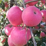 Proveedor de oro para el chino Fuji rojo fresco/Qinguan Apple Apple