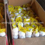 Karton, der chinesischen frischen weißen Knoblauch packt