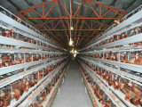새로운 자동적인 층 닭 감금소 장비 (프레임)