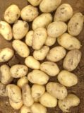 Neue Getreide-Kartoffel für Verkauf