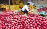 Estrella roja Apple de la nueva cosecha fresca con buen precio