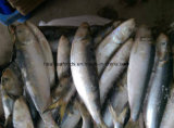 100-150g軽い伝染性のフリーズされた餌のサーディン