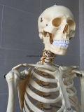 실물 크기 인간적인 해골 의학 해부 해골 모형