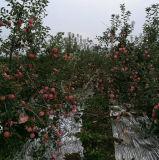 고품질 신선한 빨간 FUJI Apple