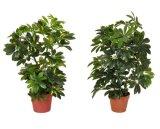 Plantas de Artificicial y flores de Schefflerra 450lvs