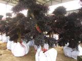 Alberi chinensis dei bonsai di Loropetalum