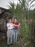 Açúcar satisfeito elevado do Sugarcane com bio fertilizante orgânico de Unigrow