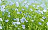 100% naturel extrait de graines de lin en poudre SDG / Linum Poudre de semences