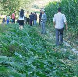 트랙터걷 의 뒤에 거치된 소형 옥수수 수확기