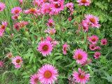 Extrait de la poudre d'échinacée/ Echinacea purpurea