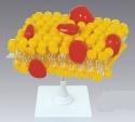 Xy 3222 1 강 홍합 (세포 모형)