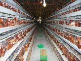 판매를 위한 가득 차있는 자동적인 계란 닭 감금소 장비