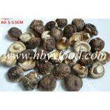 Il prezzo di fabbrica superiore 5-5.5cm ha asciugato il fungo di Shiitake liscio