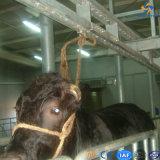 Il bestiame macella il bestiame in tensione che piombo la strumentazione