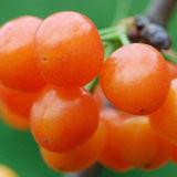 Hoher Reinheitsgrad-gibbelische Säure des Pflanzenwachstum-Regler-Gibberellin-Ga3