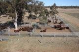 Comitato dell'iarda del bestiame galvanizzato guida ovale
