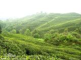 Il tè verde ha estratto il polifenolo del tè verde di 98%