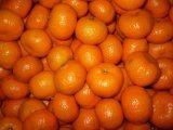 Mandarino fresco del bambino di Nan Feng
