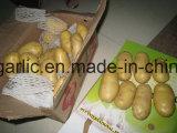 La nouvelle récolte de pommes de terre fraîches de la Chine