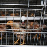 يغلفن آليّة دجاجة قفص لأنّ ينمو شواء وفروخ