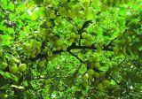 Glicosidi del flavone/lattone 24%/6% del terpene; Ginkgolic Acid≤ 5ppm