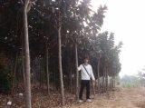 Porpora di Elastica del Ficus - fogli di colore verde