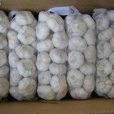 Fornitore certo per aglio bianco puro (5.5cm ed aumentano)