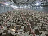 販売のための専門の鉄骨フレームの養鶏場