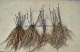 La Chine Arborescence Arborescence racine / Pivoine de semis de pivoines