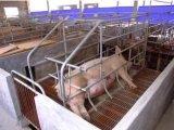 Порося клеть свиньи или стойло или пер