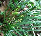 血循環を促進するためのHokはさみの草のエキス