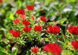 Qualität Rhodiola Rosea Auszug-Puder Rosavins 3%-10%