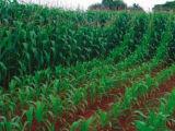 アミノ酸のキレート化合物亜鉛肥料