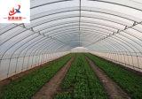 Plantation du légume en serre chaude de tunnel