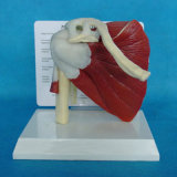 Modello di sistema muscolare umano di anatomia medica di alta qualità (R040103)