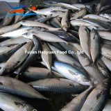 고품질 바다에 의하여 어는 물고기 태평양 고등어