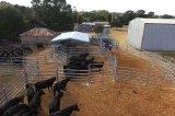 Custom-Made bovinos pesados paneles de patio de Australia (XMM-CP11).