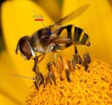 نحلة لقاح 15% بروتين