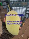 Свежие манго, Hoa Loc манго, нового урожая